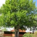 Le double chêne. Le point le plus élevé du village